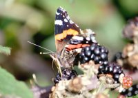 Red Admiral butterfly sipping fruit juice