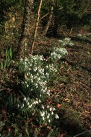 Roadside snowdrops next to the Reserve