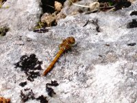 Brown Hawker butterfly